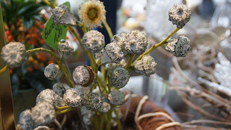 Die Samenkapseln des Eukalyptus platzen bei Hitze auf, ähnlich wie Pinienzapfen