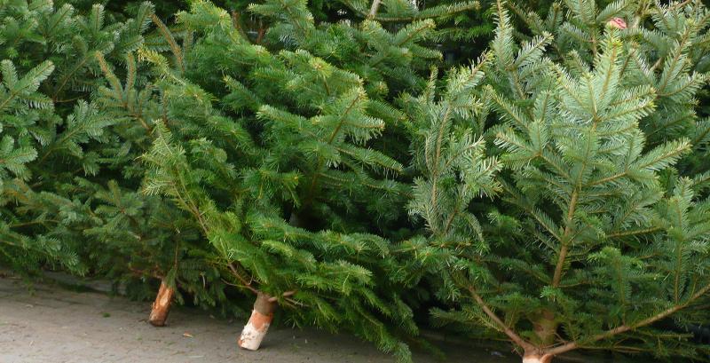 weihnachtsbaum umfrage sachsen lehnen k nstlichen. Black Bedroom Furniture Sets. Home Design Ideas
