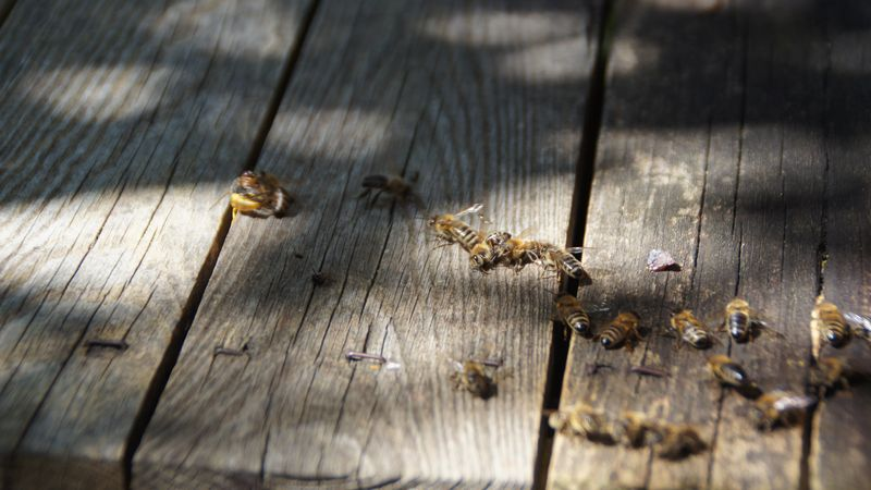 Eindringlinge, wie diese Wespe (links) werden abgewehrt